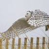 Snowy Owl and Fence